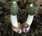 Как принимать гриб ВЕСЕЛКА для повышения потенции мужчин?