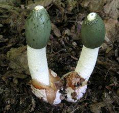 ВЕСЕЛКА — лучший гриб для повышения мужской потенции