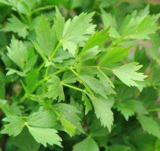 Любисток — целебное растение для лечения импотенции