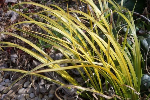 Растение аир болотный