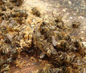 Пчелиный подмор для повышения потенции – как использовать мужчине?
