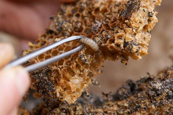 Личинка восковой моли
