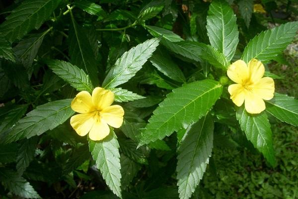 Листья дамианы, экстракт которой входит в состав препарата Распутин