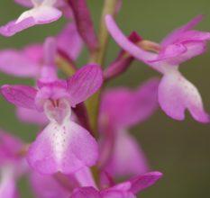 Ятрышник — «мужское» растение для усиления потенции