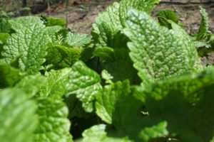 Мелисса – полезное для мужской потенции успокаивающее растение