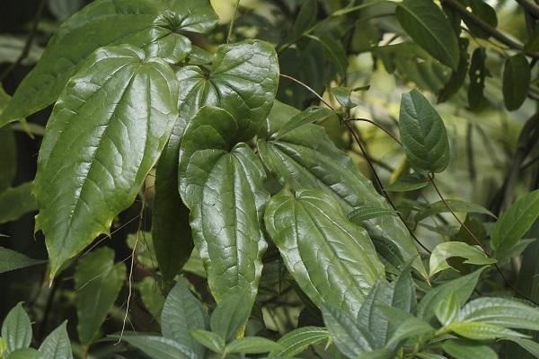 Листья травы горянка
