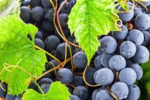 Чем полезен виноград для организма мужчин, влияние на потенцию