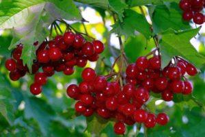 Польза и вред калины красной для здоровья и потенции мужчин